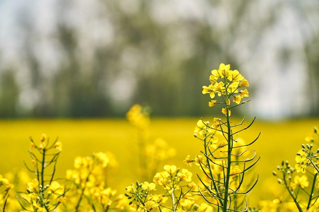 oilseed-rape-5049691_1280_Markus Distelrath auf Pixabay